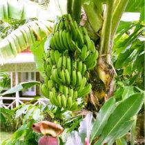 "Blancheporte Pestovateľská súprava ""Banánovník"""