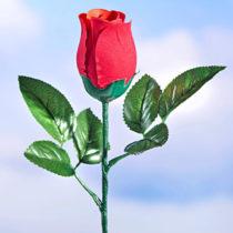 Blancheporte Hovoriaca narodeninová ruža