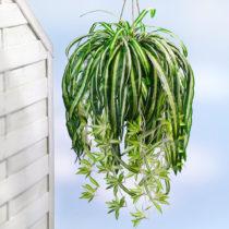 Blancheporte Zelenec (chlorophytum)