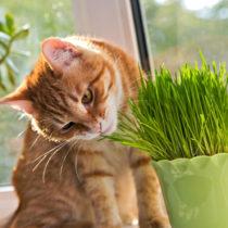 Blancheporte Tráva pre mačky