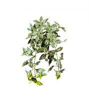 """Magnet 3Pagen Závesná rastlina """"Tradescantia"""""""