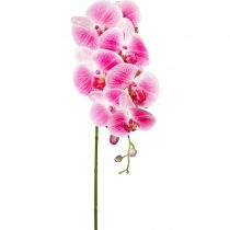 Orchidea Phalänopsis Sissi