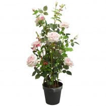 Ruža Rosenstock